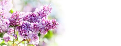 Spring nature poster template. Blossoming Syringa vulgaris lilacs bush. Beautiful springtime floral background with royalty free stock image