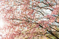 Beautiful sakura or cherry blossom with soft focus on blue sky background. Spring nature, sunny weather and beautiful flowers of sakura or cherry tree royalty free stock photo