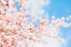 Beautiful sakura or cherry blossom with soft focus. Blue sky background. Spring nature, sunny weather and beautiful flowers of sakura or cherry tree stock images