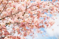 Beautiful sakura or cherry blossom with soft focus. Blue sky background. Spring nature, sunny weather and beautiful flowers of sakura or cherry tree stock photography