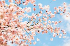 Beautiful sakura or cherry blossom with soft focus. Blue sky background. Spring nature, sunny weather and beautiful flowers of sakura or cherry tree royalty free stock photo