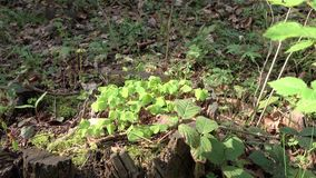 Spring nature of wild forest in which new leaves bloom. Stump covered with moss, new shoots of plant break through, dry leaves after winter cover earth, dry stock video