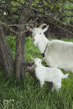 Spring near the bushes stands a goat with two young goats. Royalty Free Stock Photography