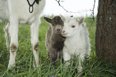Spring near the bushes stands a goat with two young goats. Stock Image