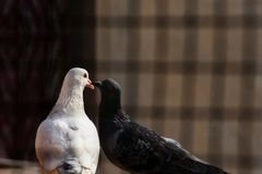 The spring is near and the love is everywhere, pigeons kissing and making their love. a black and a white pigeon`s love truly stock photo