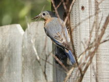 Spring Nest Building. Spring is Nest building Time For The Eastern Bluebird Royalty Free Stock Image