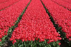 Spring in Netherlands tulip flower field red tulips flowers bloo Royalty Free Stock Photos