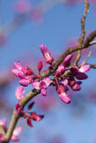 Spring - New growth and flowers on a Redbud tree Stock Photography