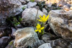 Spring, new life. The first flowers, spring, hope, a new life ... tender flowers in a cold stone , landscapes royalty free stock images