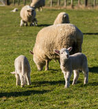 Spring New Zealand lambs Royalty Free Stock Photos