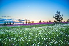 Spring night landscape with blooming wild flowers in meadow stock image