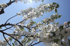 Flowers of a tree with the sun Royalty Free Stock Images