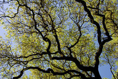 Spring Oak Branches Stock Photography