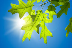 Spring Oak Leaves on Branch against Blue Sky Royalty Free Stock Images