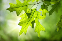 Spring Oak Leaves on Branch against Green Forest Canopy Royalty Free Stock Photography