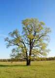 Spring oak tree. In green meadow and blue sky Stock Image
