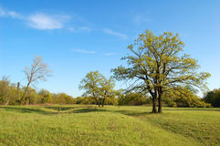 Spring oak tree. In green meadow and blue sky Stock Photo
