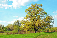 Spring oak tree Royalty Free Stock Images