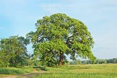 Spring oak tree Royalty Free Stock Photo