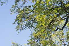 Spring oak tree branches against blue sky Royalty Free Stock Photos