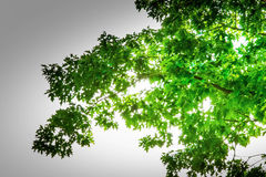 Spring Oak Tree  Green poem Stock Photography