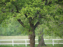 Spring oak trees. By white wooden fence;  RAW format available Royalty Free Stock Photography