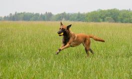 Spring och spela för Malinois fårhund fotografering för bildbyråer