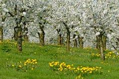 Spring ochard Stock Images