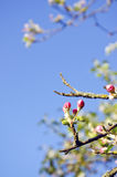 Spring old apple blossoms buds Stock Images