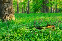 Spring in the old and the big woods. Landscape Royalty Free Stock Image