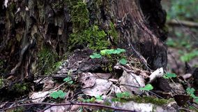Spring old forest close-up 4K. 4K footage Close-up of clump of green fluffy moss stock footage