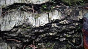 Spring old forest close-up 4K. 4K footage close-up of clump of green fluffy moss stock video footage