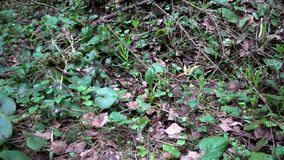 Spring old forest close-up 4K. 4K footage close-up of clump of green fluffy moss stock video