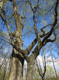 Spring. An old tree, walk in the Park Royalty Free Stock Image