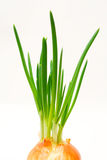 Spring onion. Stock Image