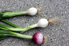 Spring onion. Allium cepa, bulbous plant with mature bulbs covered with red paper sheaths, used as vegetable and salad and in spices stock photography
