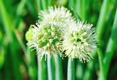 Spring onion flower Royalty Free Stock Photo