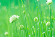 Spring onion flower Stock Photo