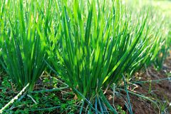 Spring onion Royalty Free Stock Photos