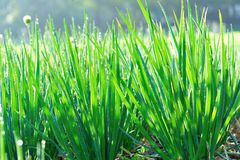 Spring onion Royalty Free Stock Image
