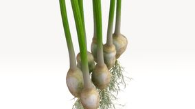 Spring Onion Plant Royalty Free Stock Photography