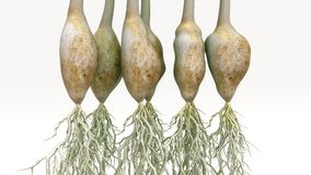 Spring Onion Plant Royalty Free Stock Images