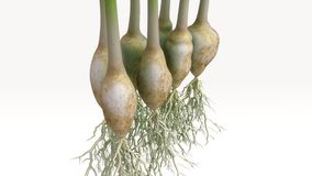 Spring Onion Plant Royalty Free Stock Image