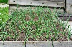 Spring onion plant, South Bohemia Royalty Free Stock Photo
