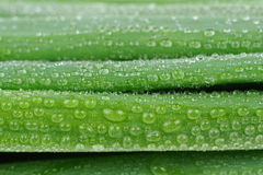 Spring Onion (Scallion) with Water Drops Macro Royalty Free Stock Photography