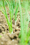 Spring onion in soil Stock Photo