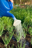 Spring onion is watered on the vegetable garden cl Stock Images