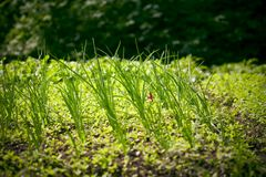 Spring onions. Spring onion plants in garden with leafy green background royalty free stock image