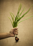 Spring onions Stock Images