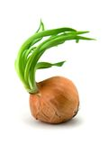 Spring onions. Onion isolated on whte background royalty free stock photography